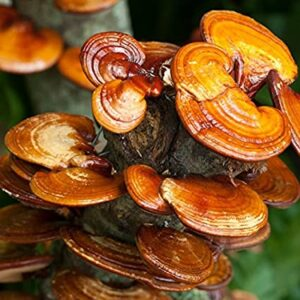 416-10-BiEau Tri Mushroom