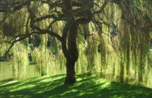 Bloedel_Reserve_Willow_Tree